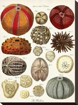 Sea Urchins-Coastal Print & Design-Stretched Canvas Print