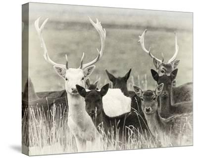 Fallow Deer Herd-Wink Gaines-Stretched Canvas Print