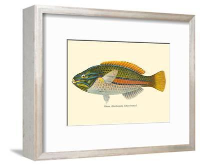 Ohua (Stethojulis Albovittata) - Blue-Lined Wrasse Fish - from Fishes of Hawaii-Pacifica Island Art-Framed Art Print