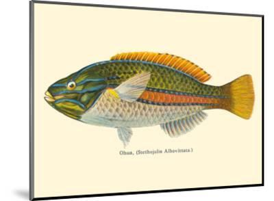 Ohua (Stethojulis Albovittata) - Blue-Lined Wrasse Fish - from Fishes of Hawaii-Pacifica Island Art-Mounted Art Print