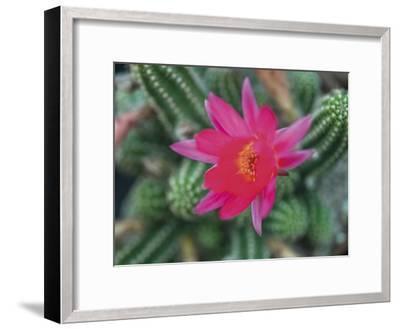 Desert Flower-Assaf Frank-Framed Giclee Print