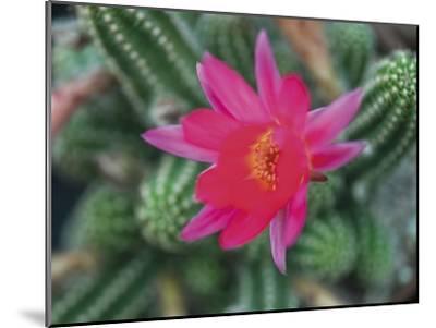 Desert Flower-Assaf Frank-Mounted Giclee Print