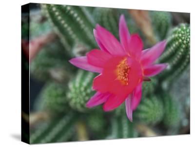 Desert Flower-Assaf Frank-Stretched Canvas Print