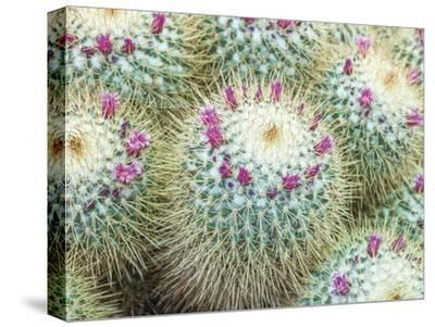 Arid Florals-Assaf Frank-Stretched Canvas Print