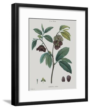 Anona-Pierre Joseph Redoute-Framed Giclee Print