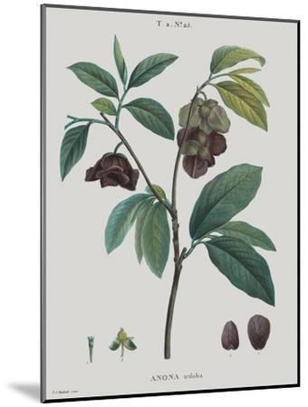 Anona-Pierre Joseph Redoute-Mounted Giclee Print