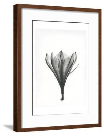 Tulip-Albert Koetsier-Framed Art Print