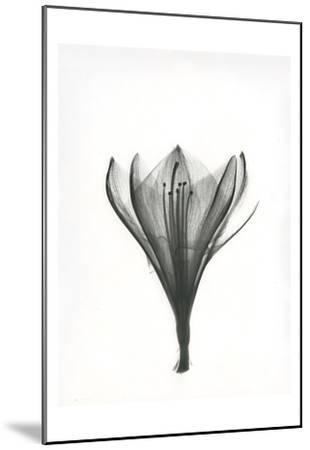 Tulip-Albert Koetsier-Mounted Art Print
