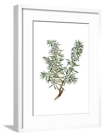 Herbs on White 3-Kimberly Allen-Framed Art Print