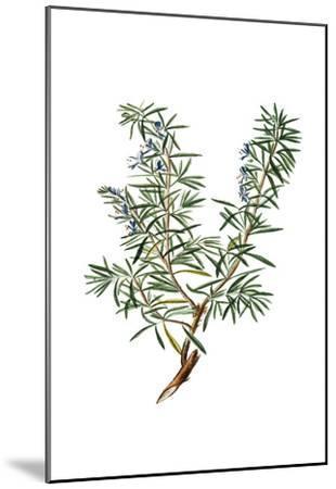 Herbs on White 3-Kimberly Allen-Mounted Art Print