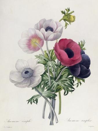 """Anemone: Simple, from """"Les Choix Des Plus Belles Fleurs""""-Pierre-Joseph Redout?-Framed Giclee Print"""