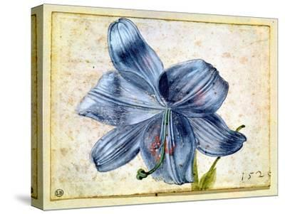 Study of a Lily, 1526-Albrecht D?rer-Stretched Canvas Print