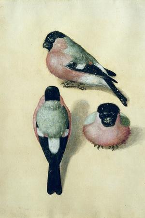 Three Studies of a Bullfinch-Albrecht D?rer-Stretched Canvas Print