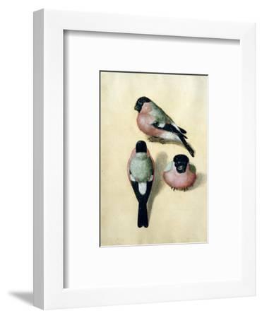 Three Studies of a Bullfinch-Albrecht D?rer-Framed Premium Giclee Print