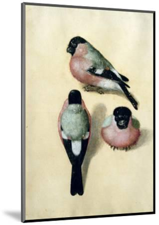 Three Studies of a Bullfinch-Albrecht D?rer-Mounted Premium Giclee Print