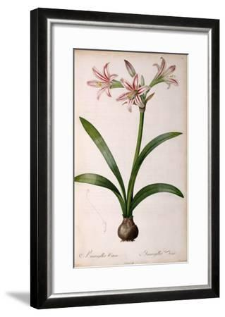 Amaryllis Vittata, from Les Liliacees Amaryllisees-Pierre-Joseph Redout?-Framed Giclee Print