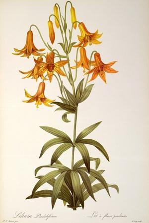 Lilium Penduliflorum, from Les Liliacees, 1811-Pierre-Joseph Redout?-Stretched Canvas Print