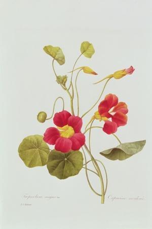 Tropaeolum Majus Var (Nasturtium)-Pierre-Joseph Redout?-Stretched Canvas Print