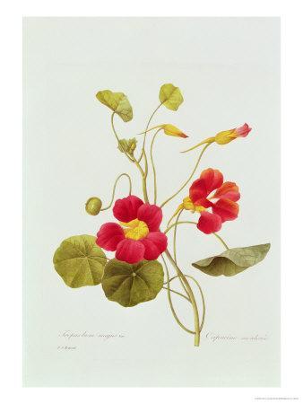 Tropaeolum Majus Var (Nasturtium)-Pierre-Joseph Redout?-Giclee Print
