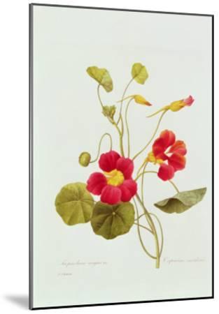 Tropaeolum Majus Var (Nasturtium)-Pierre-Joseph Redout?-Mounted Giclee Print