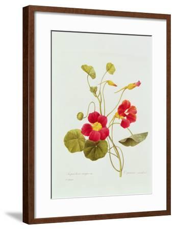 Tropaeolum Majus Var (Nasturtium)-Pierre-Joseph Redout?-Framed Giclee Print