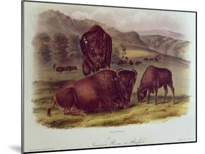 Bison from Quadrupeds of North America (1842-5)-John James Audubon-Mounted Giclee Print