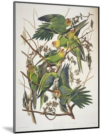 "Carolina Parakeet, from ""Birds of America,"" 1829-John James Audubon-Mounted Premium Giclee Print"