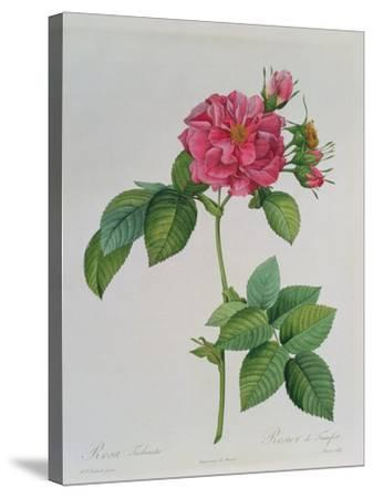 Rosa Turbinata, from Les Roses, Vol 1, 1817-Pierre-Joseph Redout?-Stretched Canvas Print