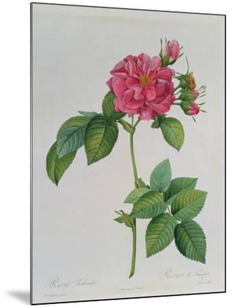 Rosa Turbinata, from Les Roses, Vol 1, 1817-Pierre-Joseph Redout?-Mounted Giclee Print