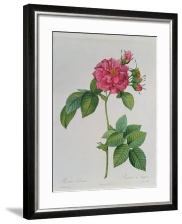 Rosa Turbinata, from Les Roses, Vol 1, 1817-Pierre-Joseph Redout?-Framed Giclee Print