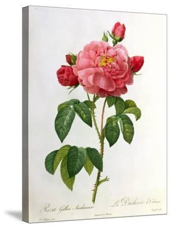 Rosa Gallica Aurelianensis-Pierre-Joseph Redout?-Stretched Canvas Print