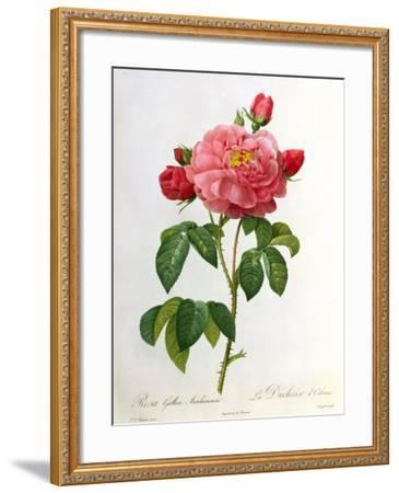 Rosa Gallica Aurelianensis-Pierre-Joseph Redout?-Framed Giclee Print