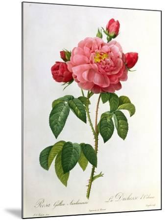 Rosa Gallica Aurelianensis-Pierre-Joseph Redout?-Mounted Giclee Print