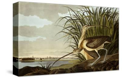Male And Female Long Billed Curlew (Numenius Americanus) with the City of Charleston Behind-John James Audubon-Stretched Canvas Print