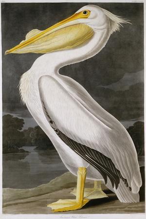 American White Pelican-John James Audubon-Stretched Canvas Print