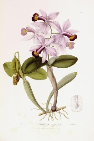 Sertum Orchidaceum-John Lindley-Stretched Canvas Print