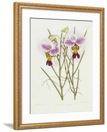 The Orchid Album Plate 475--Framed Giclee Print