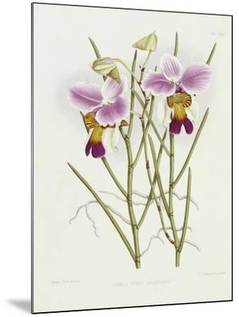 The Orchid Album Plate 475--Mounted Giclee Print