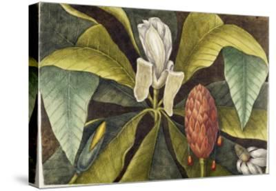 Magnolia-Mark Catesby-Stretched Canvas Print