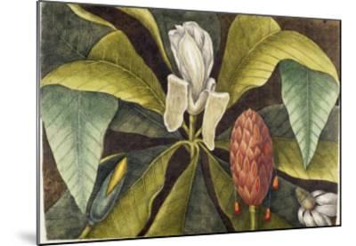 Magnolia-Mark Catesby-Mounted Giclee Print