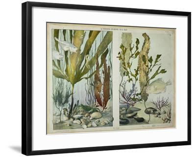 "Seaweed, Fishes, Sea Horse, Crab and Shellfish, Illustrated Plates from ""La Vie Sous Marine""-Emile Belet-Framed Giclee Print"