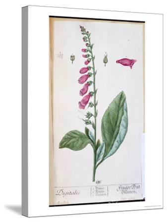 "Digitalis Purpurea, from ""Herbarium Blackwellianum,"" 1757-Elizabeth Blackwell-Stretched Canvas Print"