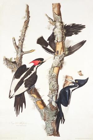 Ivory-Billed Woodpecker, 1829-John James Audubon-Stretched Canvas Print
