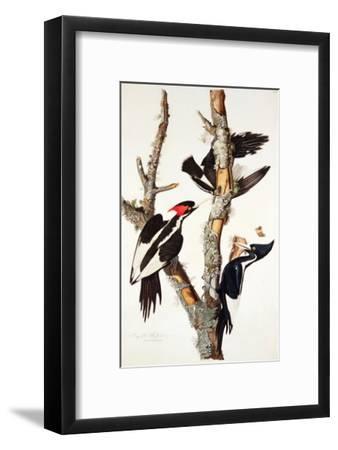 Ivory-Billed Woodpecker, 1829-John James Audubon-Framed Giclee Print