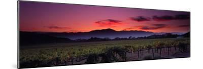 Vineyard at Sunset, Napa Valley, California, USA--Mounted Photographic Print