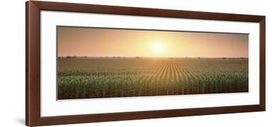 View of the Corn Field During Sunrise, Sacramento County, California, USA--Framed Photographic Print