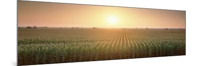 View of the Corn Field During Sunrise, Sacramento County, California, USA--Mounted Photographic Print
