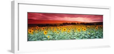 Sunflowers, Corbada, Spain--Framed Photographic Print