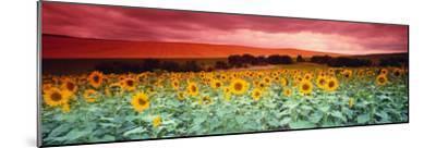 Sunflowers, Corbada, Spain--Mounted Photographic Print