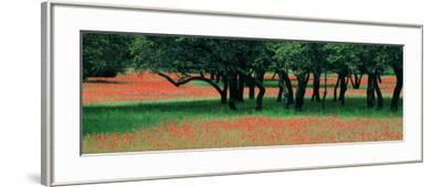 Indian Paintbrushes and Scattered Oaks, Texas Hill Co, Texas, USA--Framed Photographic Print